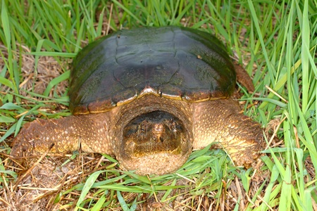hostile: Snapping Turtle (Chelydra serpentina) sits in a wetland of Illinois