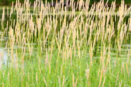 Reed Canary Grass (Phalaris arundinacea) grows thickly in a field of northern Illinois