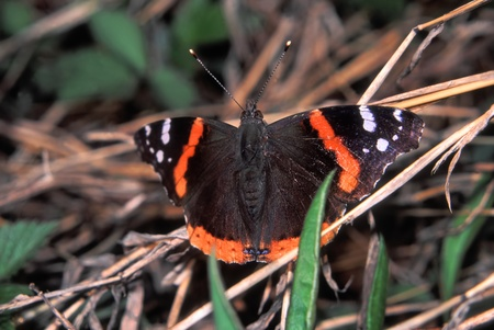 vanessa: Red Admiral Butterfly (Vanessa atalanta) perched on vegetation at Espenscheid Forest Preserve of northern Illinois Stock Photo
