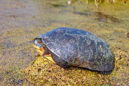 wetland conservation: Blandings Turtle (Emydoidea blandingii) basking on vegetation in a marsh of northern Illinois Stock Photo