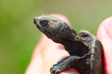 snapping turtle: Hatchling Snapping Turtle (Chelydra serpentina) found in northern Illinois