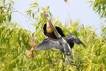 Two Anhingas seen at the Everglades National Park of Florida Stock Photo - 10346918