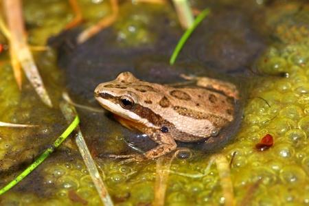 wetland: Western Chrous Frog (Pseudacris triseriata) in a wetland of northern Illinois Stock Photo