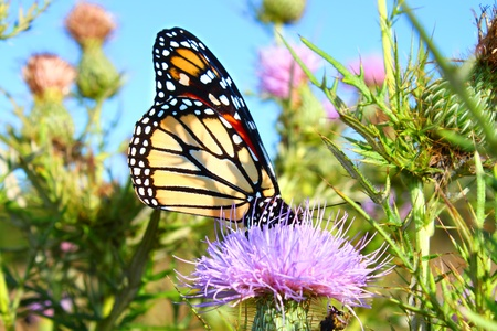 Monarch Butterfly (Danaus plexippus) on a thistle flower in northern Illinois