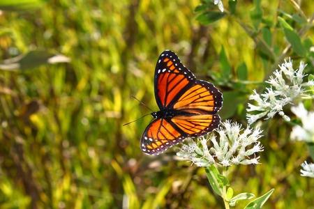 viceroy: Viceroy Butterfly (Limenitis archippus) on vegetation in the United States Stock Photo