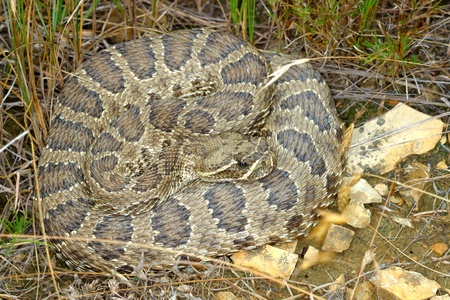 Prairie Rattlesnake (Crotalus viridis) in Badlands National Park of South Dakota photo