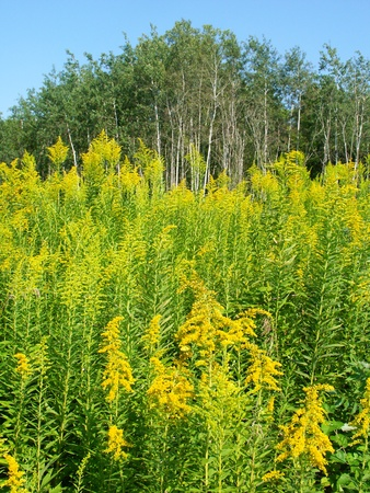 Field of blooming Goldenrod at Colored Sands Forest Preserve in northern Illinois