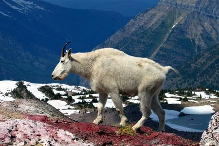 cabra montes: Mountain Goat (Oreamnos americanus) en Sperry glaciar en el Parque Nacional Glacier - Montana