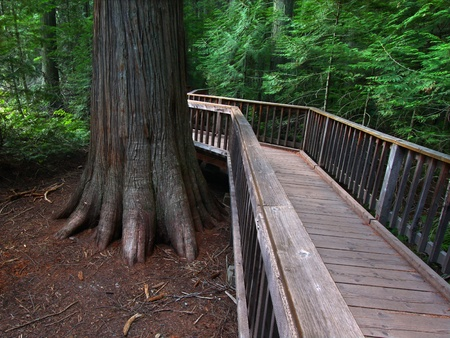 cedars: Boardwalk passing by ancient trees on the Trail of the Cedars in Glacier National Park - Montana
