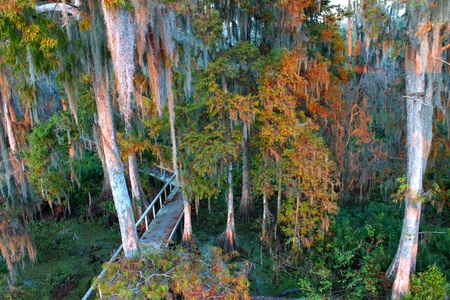 wetland conservation: Boardwalk through the thick swamps of central Florida Stock Photo
