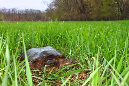 snapping turtle: Snapping Turtle (Chelydra serpentina) sits in a wetland of Illinois