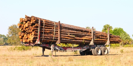 A trailer full of pine logs from a logging operation in Florida. photo