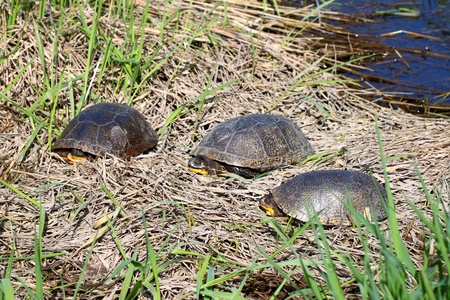 wetland conservation: Three Blandings Turtles (Emydoidea blandingii) basking on a spring day