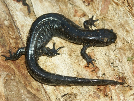 midwest usa: Smallmouth Salamander (Ambystoma texanum) at in the Midwest USA Stock Photo