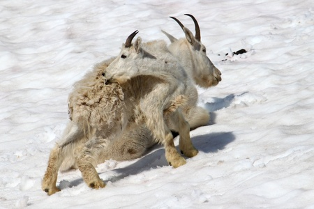 Young Mountain Goat (Oreamnos americanus) sits on a snow drift in Glacier National Park - Montana photo