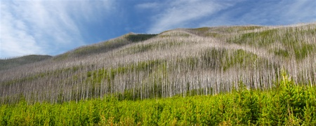 flathead: Small pines emerge in the wake of a forest fire in the Flathead National Forest of Montana