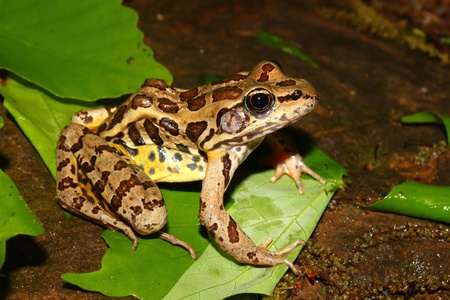 Pickerel Frog (Rana palustris) in the southern USA