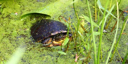 Juvenile Blandings Turtle (Emydoidea blandingii) in a marsh of northern Illinois Stock Photo - 10554383