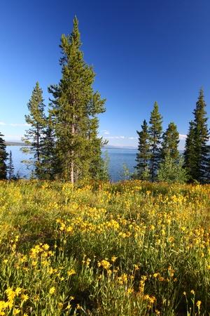 Wildflowers grow along the shoreline of Jackson Lake in Grand Teton National Park - USA Stock Photo - 10576214