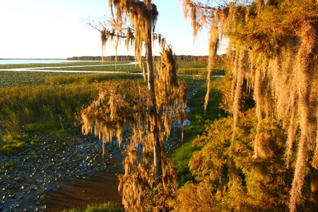 sways: Spanish Moss sways in the wind in a swamp of central Florida Stock Photo