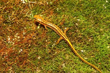 cane creek: Long-tailed Salamander (Eurycea longicauda) near Cane Creek in Alabama