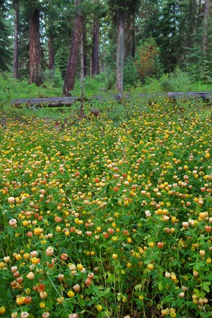 Yellow wildflowers bloom on the forest floor of Glacier National Park in Montana Stock Photo - 10894083