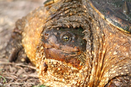 snapping turtle: Closeup of a Snapping Turtle (Chelydra serpentina) on a warm spring day near Rockford, Illinois