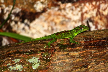 Anole out on a rainy day in the tropical forests of Puerto Rico photo
