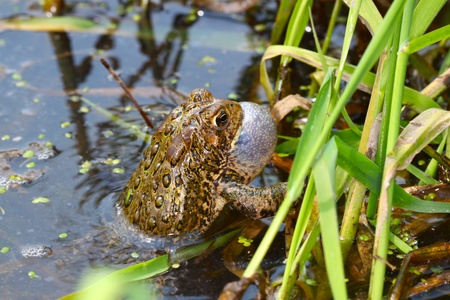 american midwest: American Toad (Bufo americanus) calling on a warm summer day in the Midwest United States