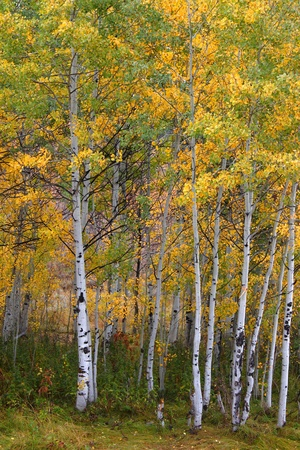 Aspen leaves turn bright yellow in the Cache National Forest of Utah