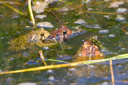 american midwest: American Toads (Bufo americanus) mating on a warm summer day in the Midwest United States