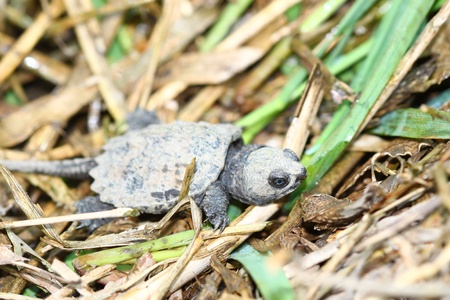 snapping turtle: Hatchling Snapping Turtle (Chelydra serpentina) out on a spring day in Illinois