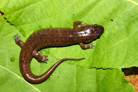 dusky: Dusky Salamander (Desmognathus conanti) in the southern United States Stock Photo