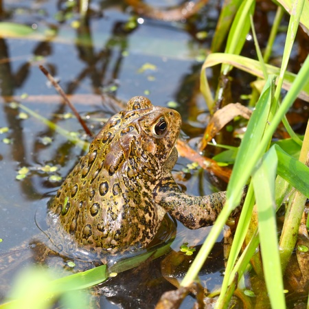 american midwest: American Toad (Bufo americanus) on a warm summer day in the Midwest United States