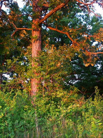 Forest scenery lit by evening sunlight in the Kettle Moraine State Forest of Wisconsin