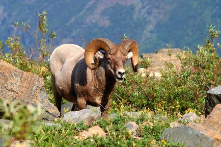 bighorn sheep: Muflone ??(Ovis canadensis) alimentazione nei pressi del ghiacciaio Grinnell Glacier National Park Archivio Fotografico