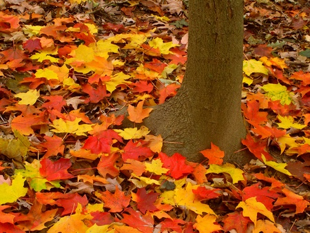 acer: Bright maple leaves at Kishwaukee Gorge Forest Preserve of Illinois