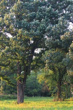 Beautiful oak savanna of Illinois under evening light