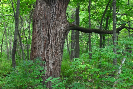 Oak tree grows in a dense forest of northern Illinois Stok Fotoğraf