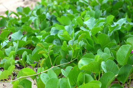 Creeping vegetation grows along a beach in Puerto Rico