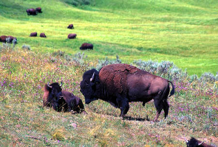 Bison graze on a summer day in Hayden Valley of Yellowstone National Park - USA Stock Photo - 12582523
