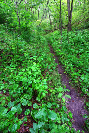 Narrow trail cuts through dense understory vegetation at Mississippi Palisades State Park in Illinois Stock Photo - 12582538