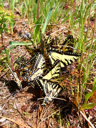 swallowtails: Tiger Swallowtails (Papilio glaucus) gathered in northern Wisconsin