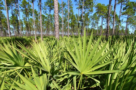 Saw Palmetto grows thick in the pine flatwoods of central Florida on a sunny day photo