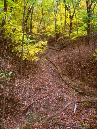 acer saccharum: Deep gorge fills with falling leaves at Kishwaukee Gorge Forest Preserve in Illinois
