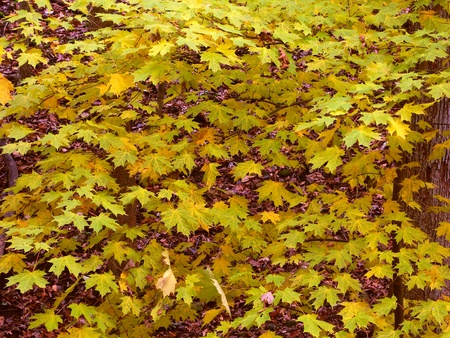 acer saccharum: Leaves turn to yellow as fall approaches in northern Illinois