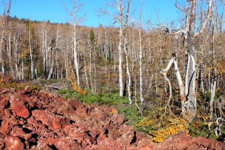 Aspen trees grow through a lava field in the Dixie National Forest of Utah Stock Photo - 13655309