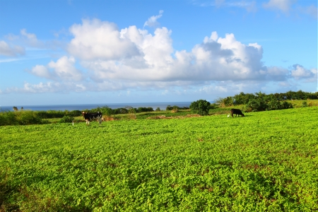 agricultural area: Cows graze in an agricultural area of the Caribbean island Saint Kitts