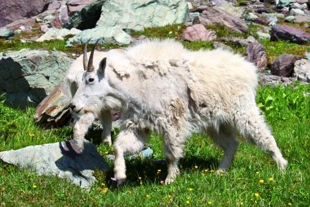 Mountain Goat  Oreamnos americanus  inhabiting the alpine ecosystem of Glacier National Park - Montana photo
