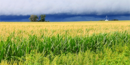 Ominous clouds precede the strong winds of a thunderstorm a cornfield in Illinois